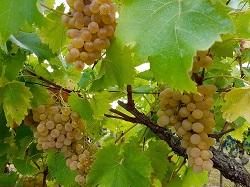 Les vignes gersoises