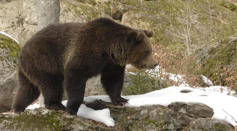 Que faire en cas de rencontre avec un ours ?